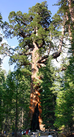 redwood grizzly giant